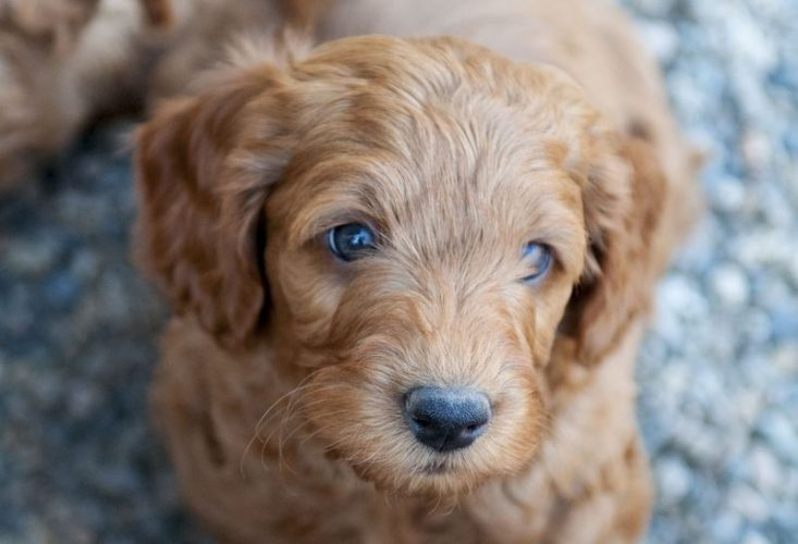 Purchase labradoodles available online