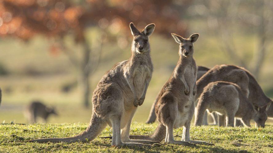 kangaroos in the wild near melbourne